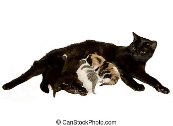 Mother cat and Kittens - Nursing mother cat. The kittens are...
