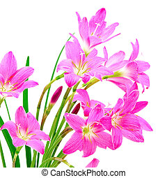 Zephyranthes Lily - Tropical pink ground flower,...