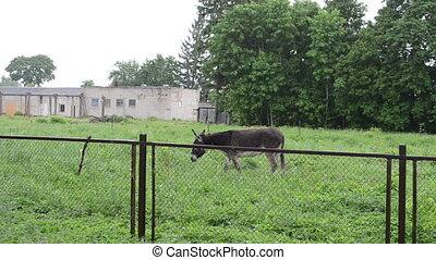 donkey graze woman rain - Donkey graze in meadow and woman...