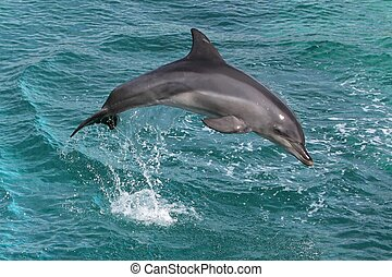 Dolphin Leap - Dolphin jumping out of the blue water