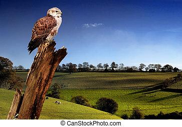 Falcon and landscape