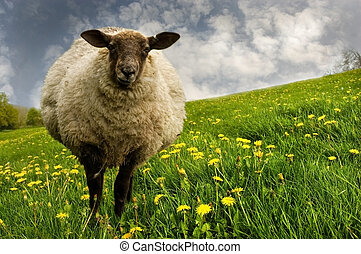 Sheep in A Meadow - Ewe standing in a beautiful dandelion...