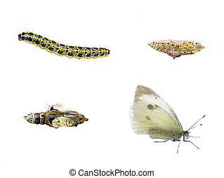 Butterfly Life Cycle - Lifecycle of the Large White...