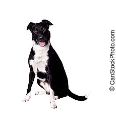 Expressive Dog - A border collie cross dog with an...