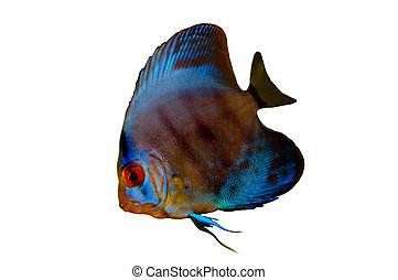 Discus Fish Isolated - Blue Discus Fish