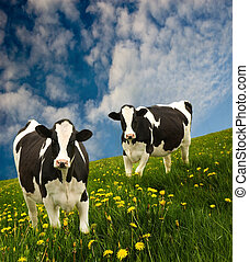 Friesian Cows - Cows in a beautiful dandelion covered field...