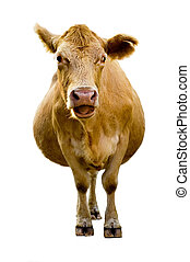 Isolated cow with humorous expression