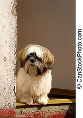 Lhasa Apso - A lhasa apso dog standing in a doorway
