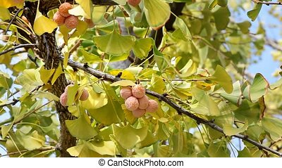 Ginkgo leaves and fruit - Autumn, leaves and fruit of the...