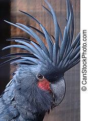 Black Cockatoo - Black or Palm Cockatoo (Probosciger...