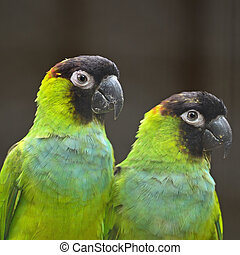 Nanday Conure - Beautiful Nanday Conure parrot Aratinga...