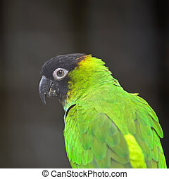 Nanday Conure - Beautiful Nanday Conure parrot (Aratinga...