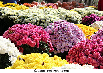colorful mums for sale - sea of colorful fall mums for sale...