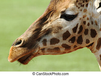 Giraffe Closeup Face - The giraffe is an African even-toed...