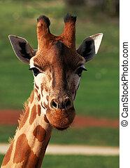 Giraffe Closeup - The giraffe is an African even-toed...