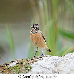 female Eastern Stonechat - Beautiful grey bird, female...