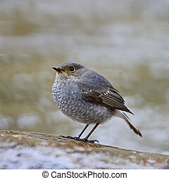 female Plumbeous Redstart - Beautiful grey bird, female...