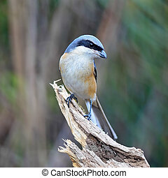 Grey-backed Shrike - Beautiful grey bird, Grey-backed Shrike...