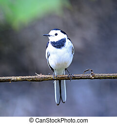 male White Wagtail - Beautiful white and black bird, male...