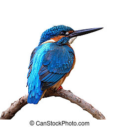 male Common Kingfisher - Beautiful blue Kingfisher bird,...