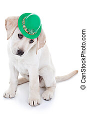 St Patrick's Day Labrador puppy dog