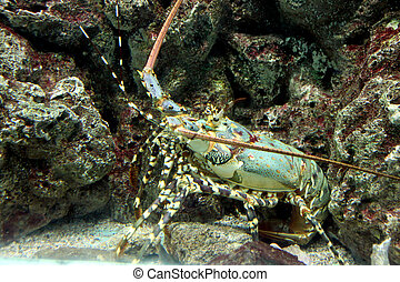 Crayfish spiny rock lobster being sheltered reef area. - The...