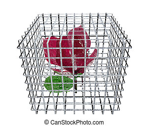 red rose in birdcage isolated on white