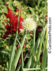 Onion flower stem