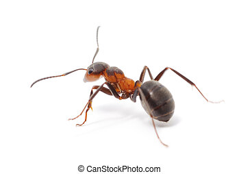 Isolated Red Ant - big forest ant isolated on white...