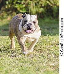 English Bulldog - A small, young, beautiful, fawn brindle...