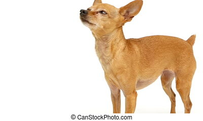 Chihuahua barking on white background