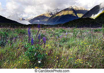 Fiordland - New Zealand - Foxglove flowers blossom during...