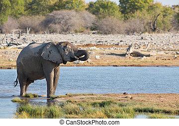 Elephants in Etosha - baby elephant drinking water in Etosha