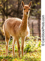 Vicuna in Zoo Liberece in Czech Republic