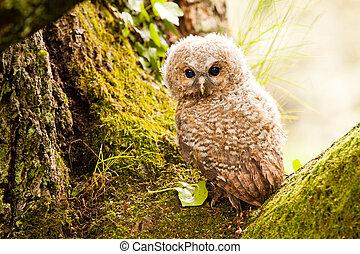 Tawny owl - Small baby of Tawny owl on tree