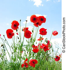 red poppies