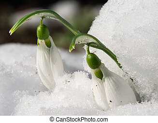 Snowdrop flower in a snow. Close up macro shot