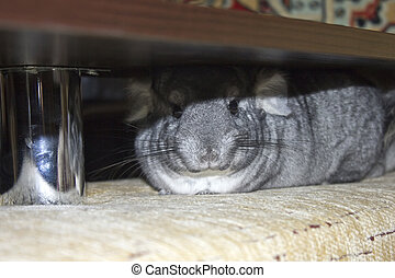 Funny chinchilla