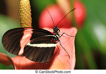 Heliconius erato - Small Butterfly (Heliconius erato)...