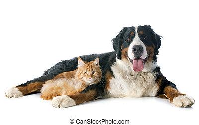 Bernese, moutain, perro, gato