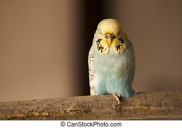 Parakeet - Blue and yellow Parakeet sitting on brench