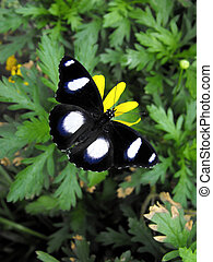 Common Eggfly Butterfly - Common Eggfly or Varied Eggfly...