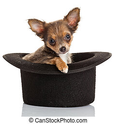 Chihuahua puppy sitting in top hat. - Chihuahua puppy...