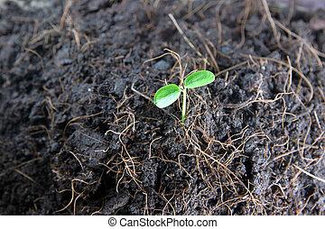 Seedlings in vegetable garden. - Seedlings in vegetable...