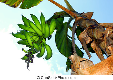 plantain cluster - close-up of a plantain cluster and plant
