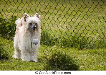 Chinese crested dog Lary