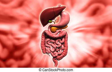 human digestive system - Digital illustration of human...