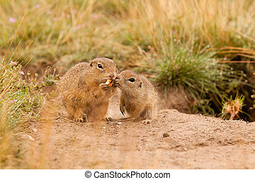 Ground squirrels eating nut in Mlada Boleslav