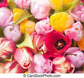 bonito, fresco, colorido, primavera,  tulips