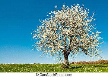 cherry tree in spring - single blossoming cherry tree in...